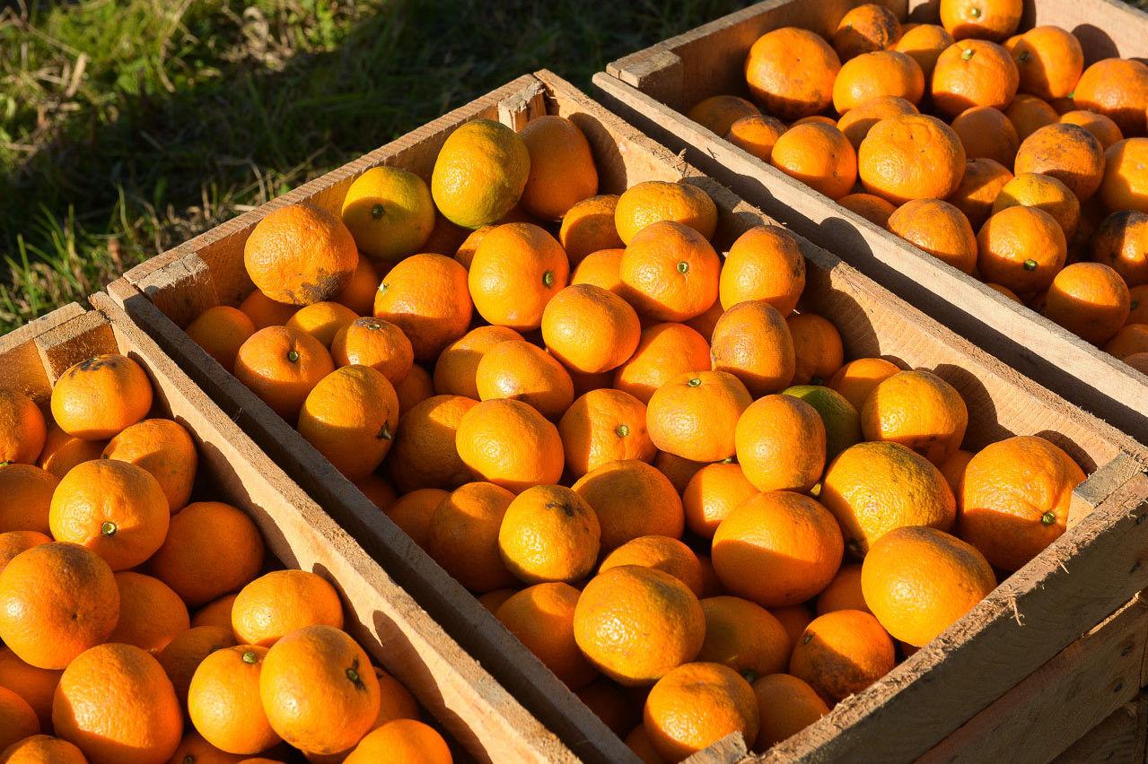 В Абхазию за мандаринами
